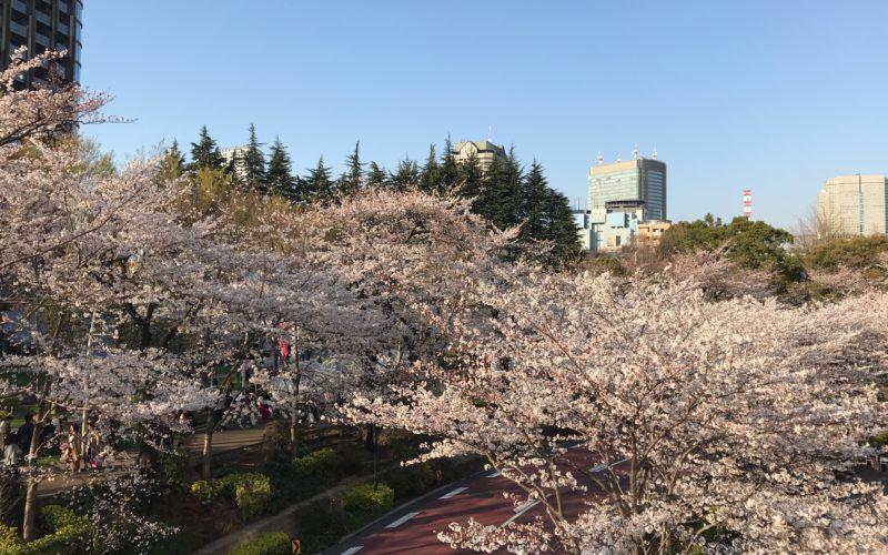東京ミッドタウンのさくら通り沿いの桜並木