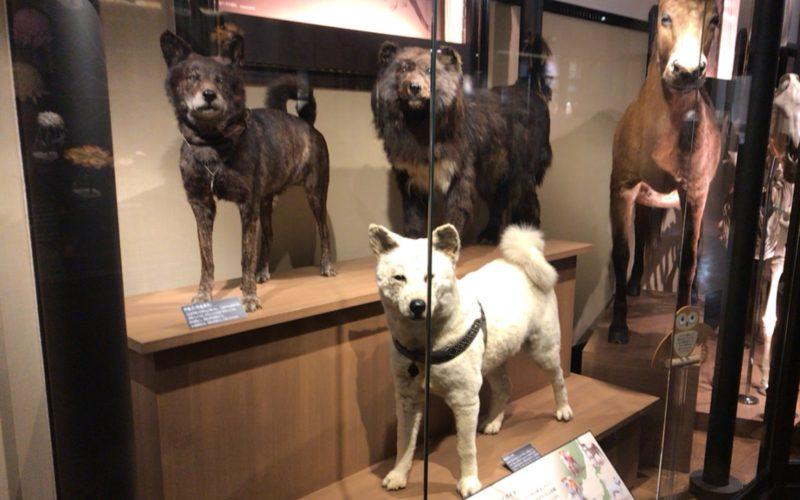 国立科学博物館の日本館2F北に展示している忠犬ハチ公とカラフト犬ジロの剥製