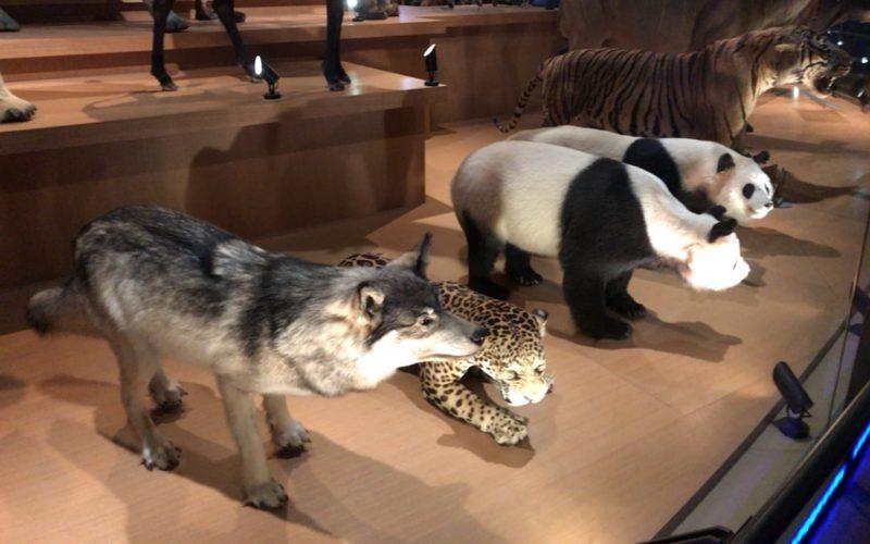 国立科学博物館の地球館3Fに展示しているニホンオオカミの剥製とフェイフェイとトントンの剥製