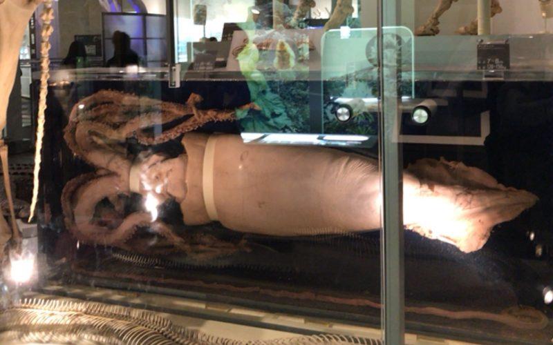 国立科学博物館の地球館1Fに展示しているダイオウイカの液浸標本