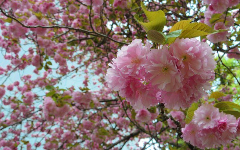 東京国立博物館の庭園に咲いていた桜