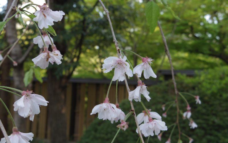 白金台 八芳園の日本庭園に咲いていた桜