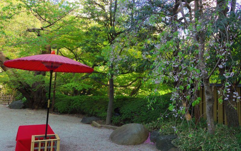 白金台 八芳園の日本庭園に咲いていた桜と野点席