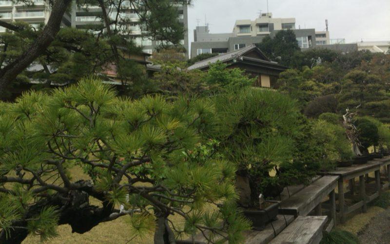 白金台 八芳園の日本庭園に展示している盆栽