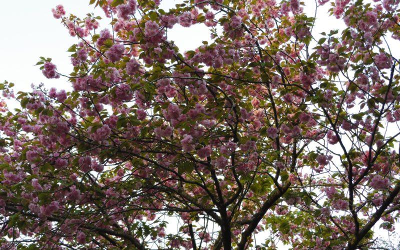 白金台 八芳園の日本庭園に咲いていた桜の木
