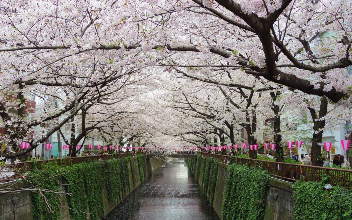 桜が満開の目黒川の桜並木
